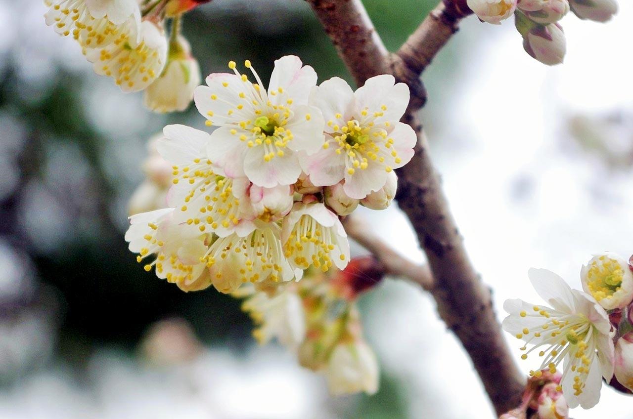 三分咲きのカラミザクラ
