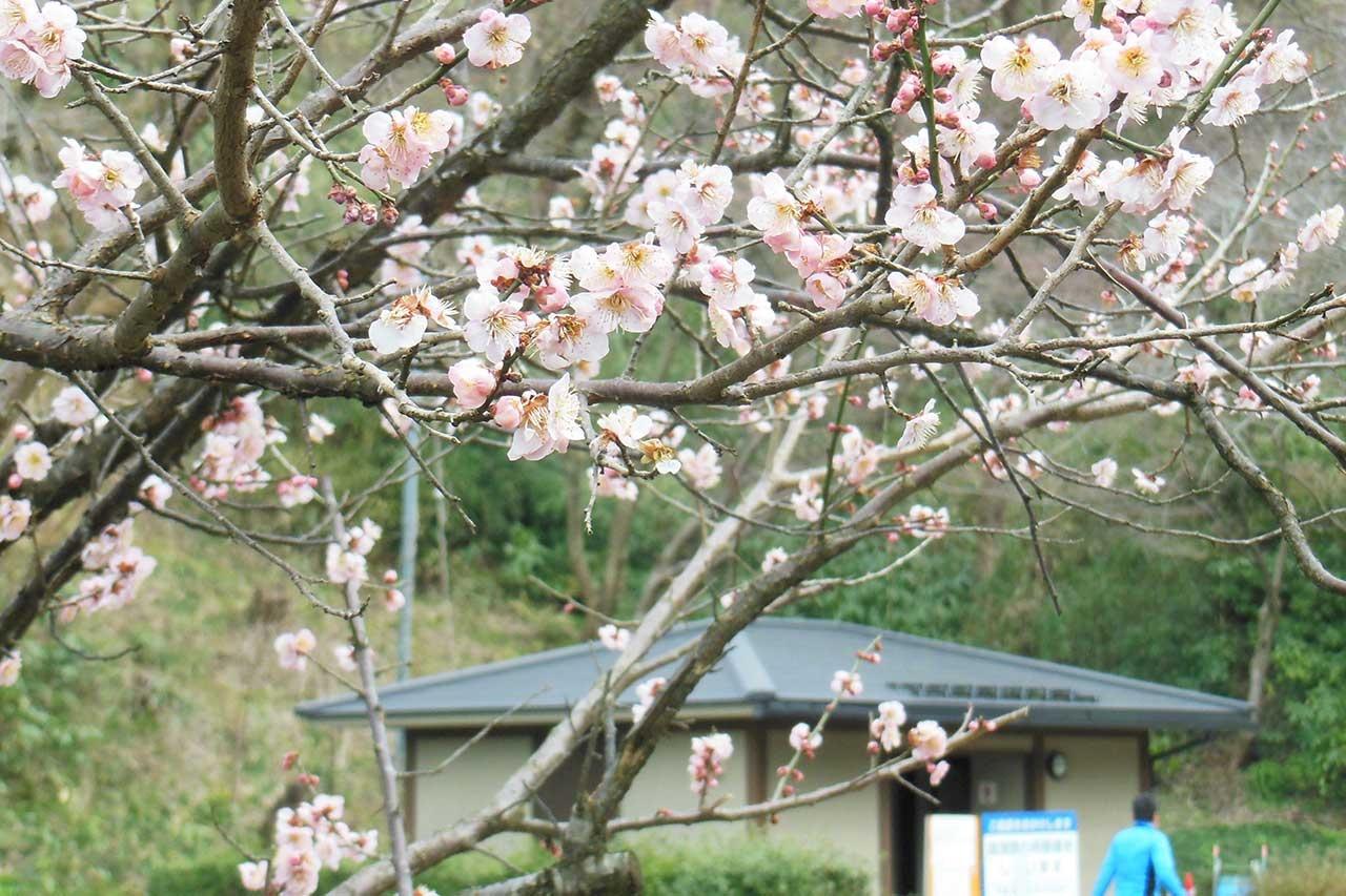 梅は八分咲き。花菖蒲園