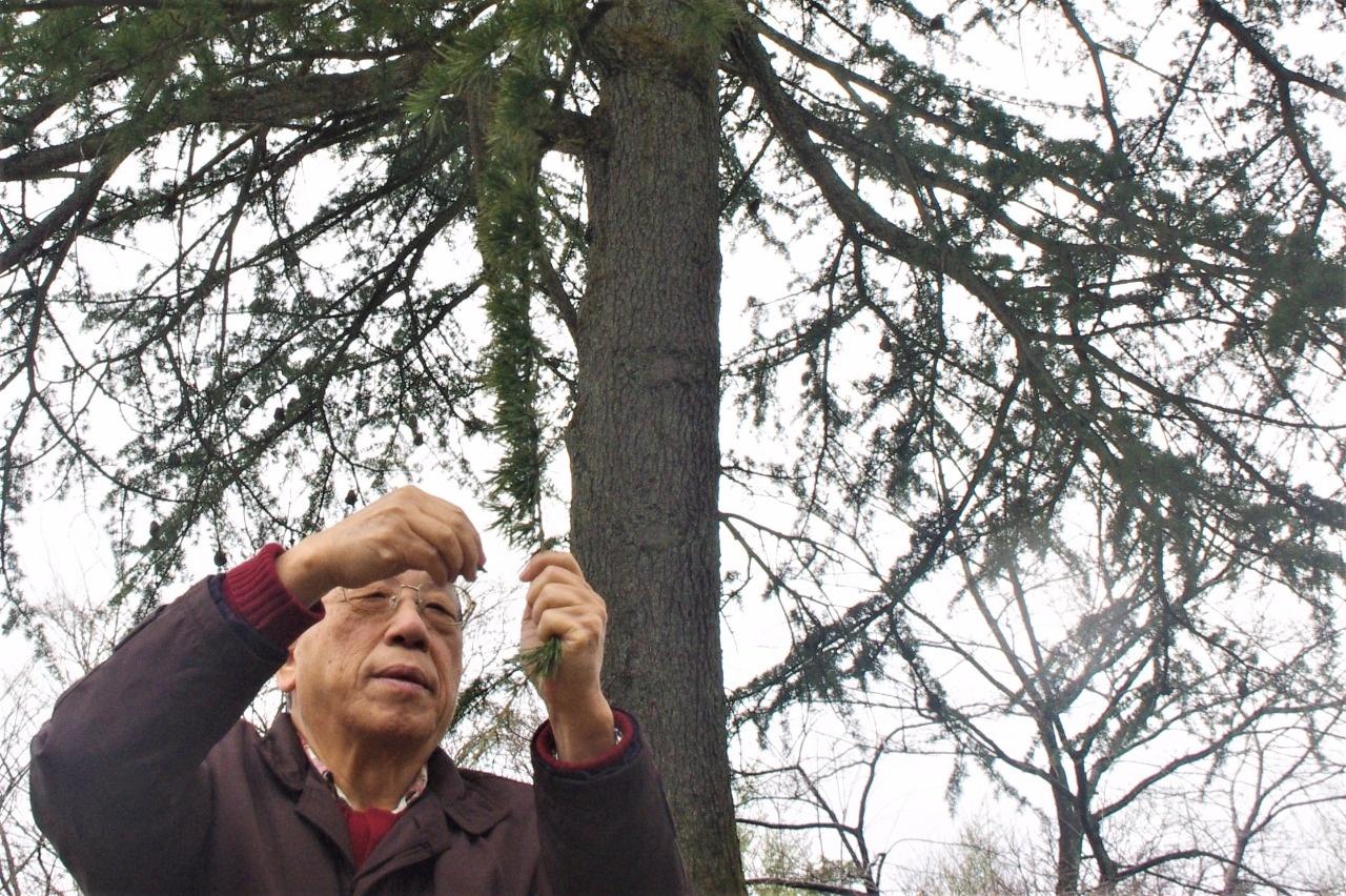 ヒマラヤスギの針葉を調べる高木政喜・石川県巨樹の会会長