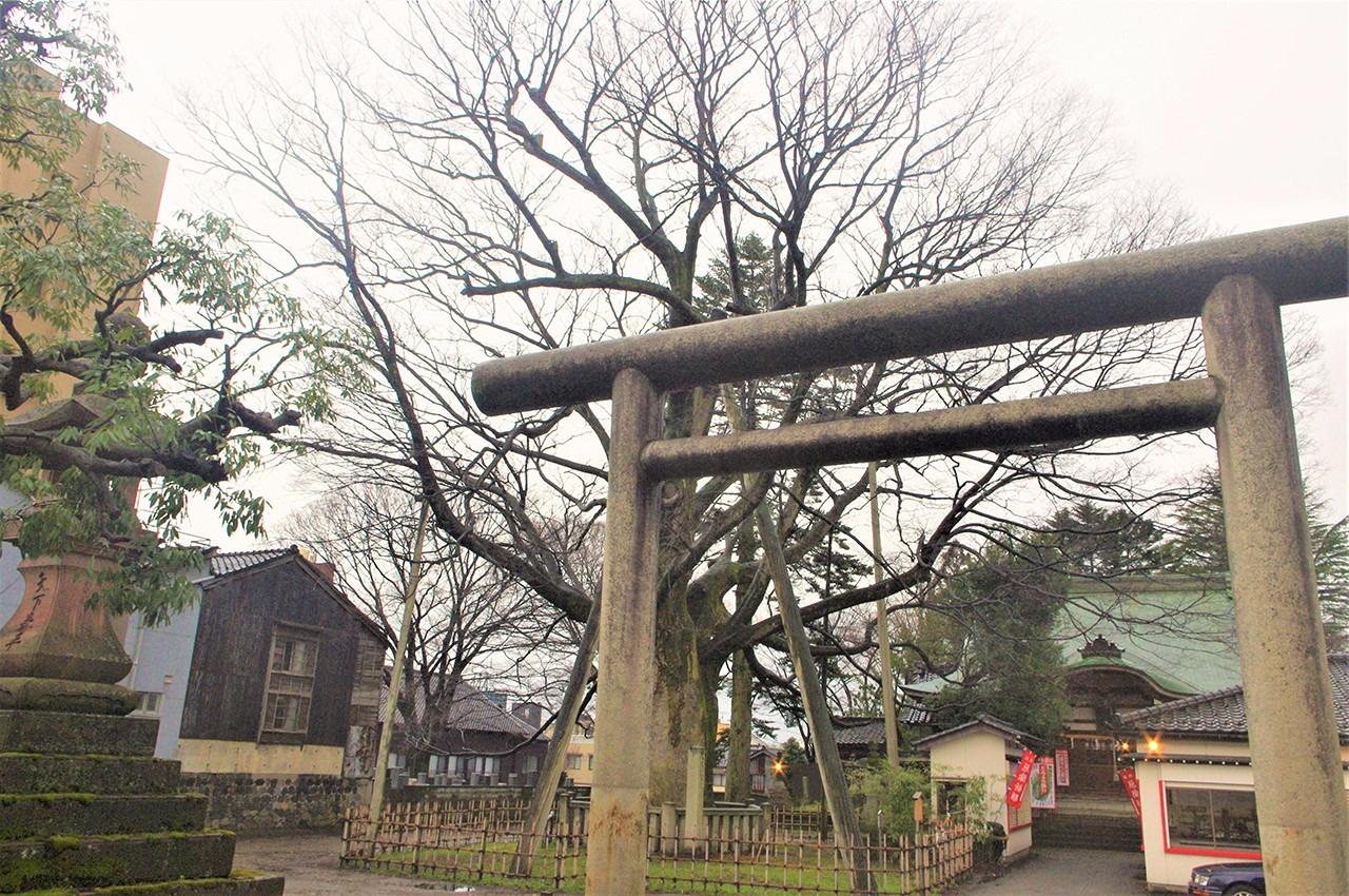 樹齢1,000年を越すおしんめさん(神明宮)の大ケヤキ。高さは23mに及ぶ