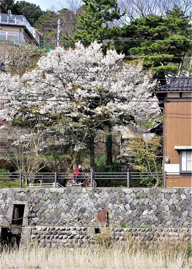 新旧の帰厚坂に桜が覆いかぶさる